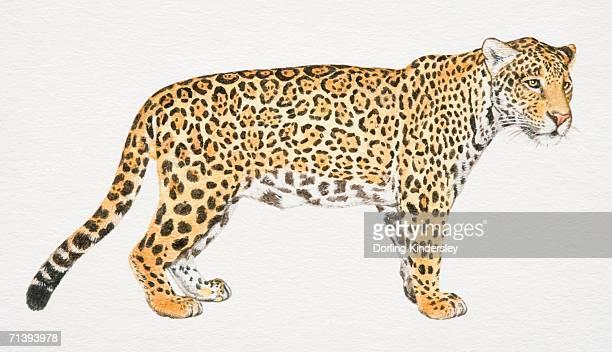 ilustraciones, imágenes clip art, dibujos animados e iconos de stock de jaguar, panthera onca, vista lateral. - jaguar