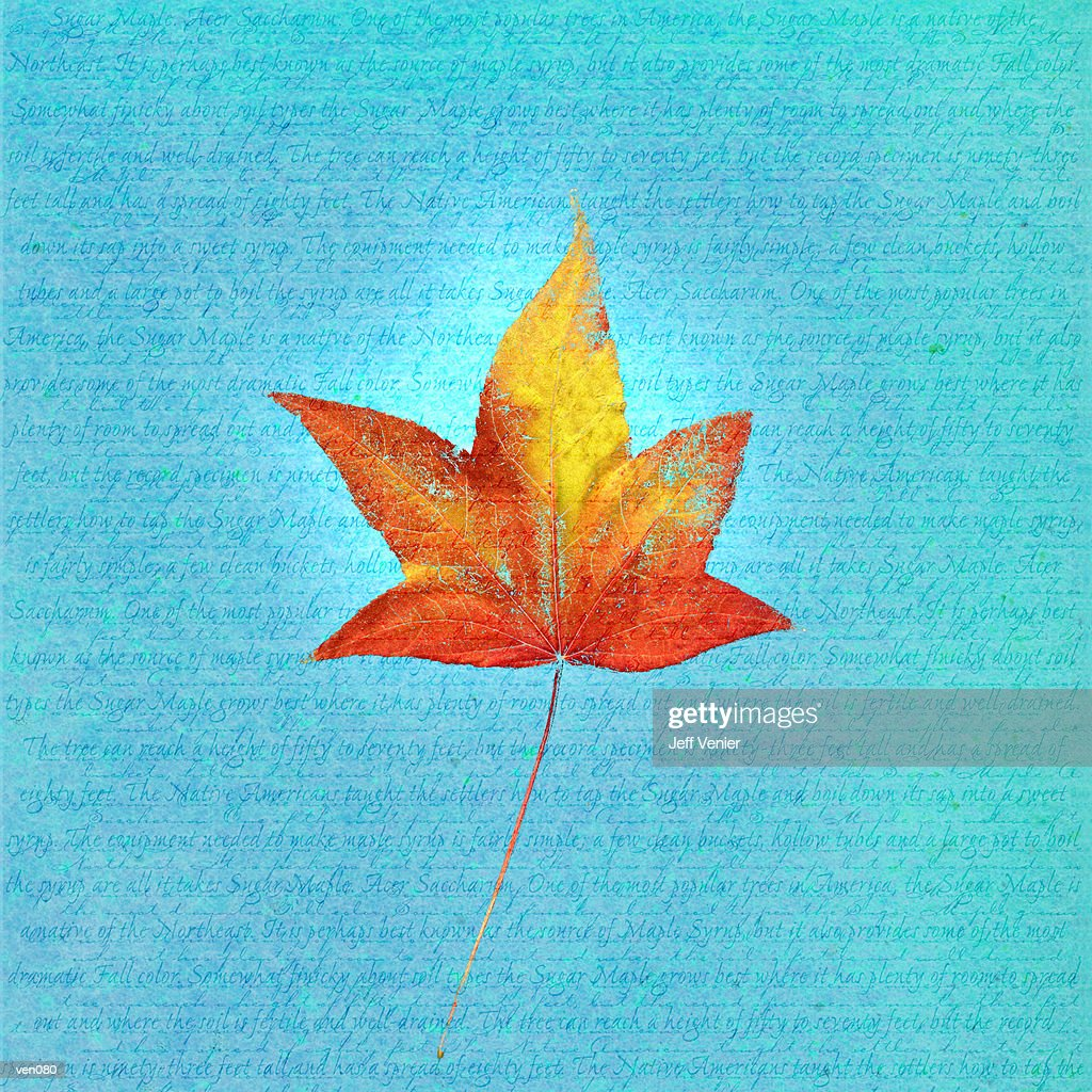 Japanese Maple Leaf on Descriptive Background : stock illustration