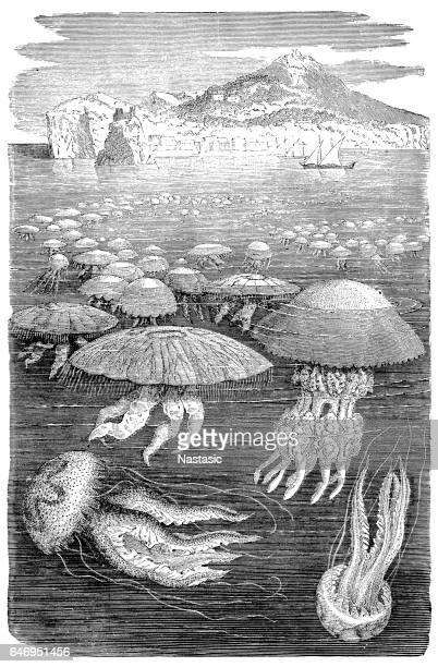 Jellyfish meduse engraving