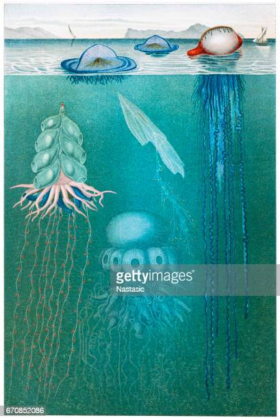 Jellyfish meduse