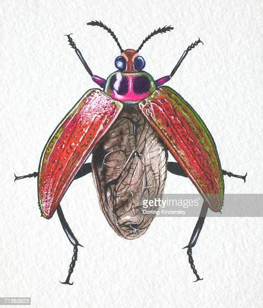 jewelled frog beetle, sagra buqueti, opening its wing cases for takeoff, front view. - animal limb stock illustrations, clip art, cartoons, & icons