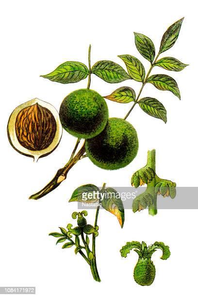 juglans regia, the persian walnut, english walnut, circassian walnut - walnut stock illustrations