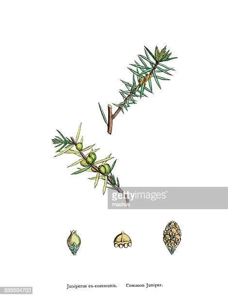 junipers tree branch with berries - juniper tree stock illustrations