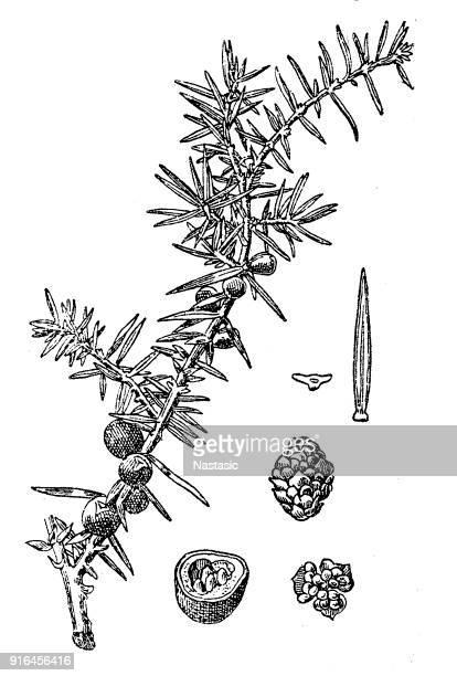 juniperus communis (common juniper) - juniper tree stock illustrations