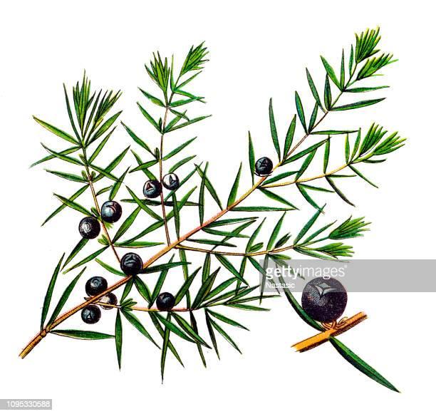 juniperus communis, the common juniper - juniper tree stock illustrations