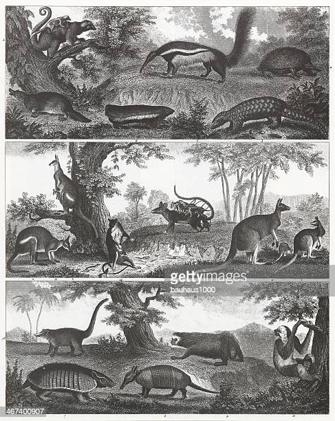 Kangaroo, Ant Eater and Armadillo Engraving