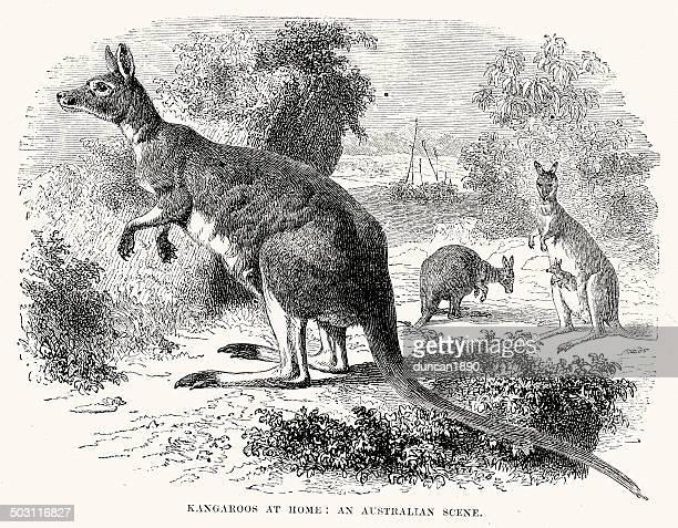 ilustrações de stock, clip art, desenhos animados e ícones de kangaroos - marsupial