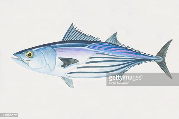 ilustraciones, imágenes clip art, dibujos animados e iconos de stock de katsuwonus pelamis, skipjack tuna, side view. - bonito del norte