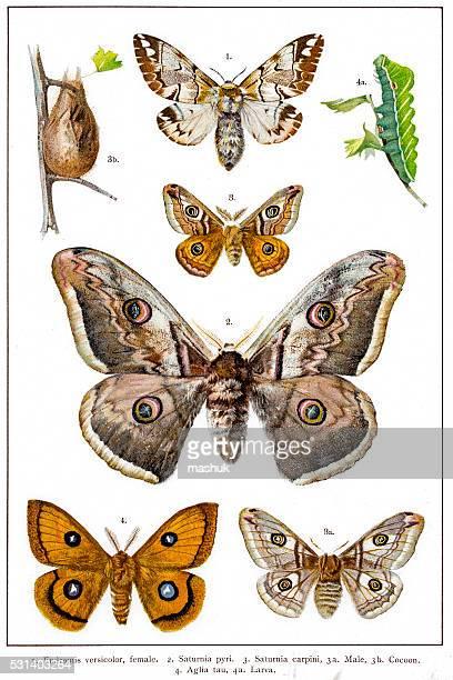 Kentish glory, Emperor and Tau Emperor moths of Europe
