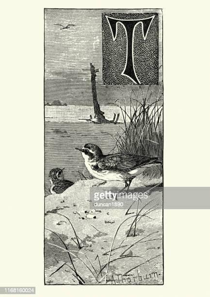 kentish plover (charadrius alexandrinus) - kentish plover stock illustrations