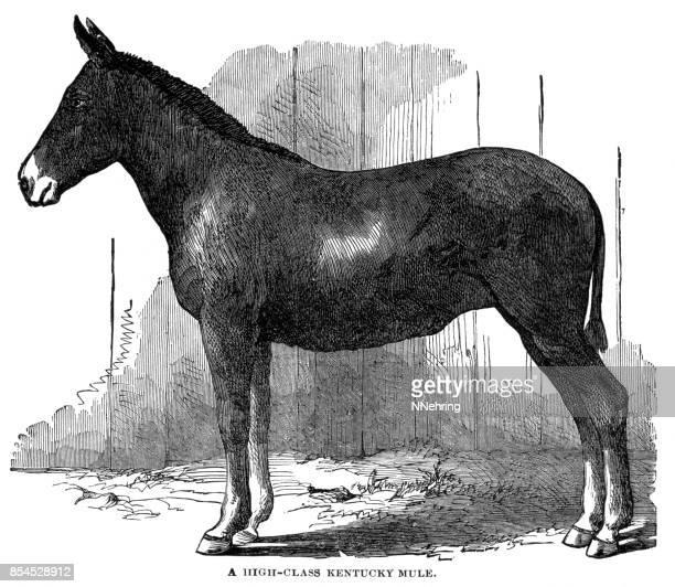 ilustraciones, imágenes clip art, dibujos animados e iconos de stock de mula de kentucky - mula