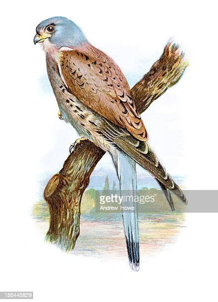 kestrel chromolithograph - falcon bird stock illustrations, clip art, cartoons, & icons