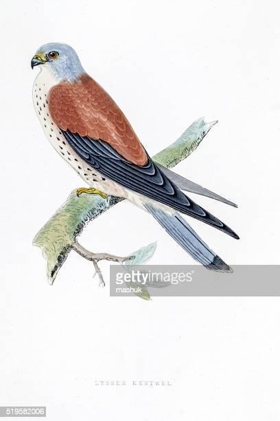 kestrel falcon bird 19 century illustration - falcon bird stock illustrations, clip art, cartoons, & icons