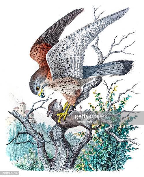 kestrel falcon engraving 1853 - falcons stock illustrations, clip art, cartoons, & icons