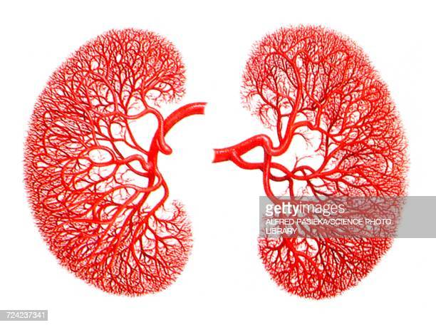 kidneys, blood supply, artwork - blood vessel stock illustrations, clip art, cartoons, & icons