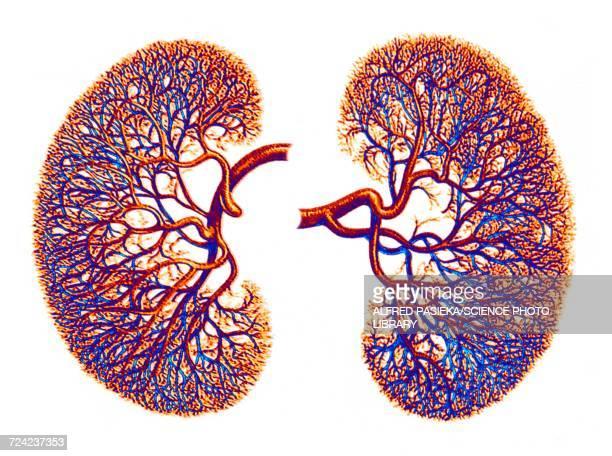 ilustrações, clipart, desenhos animados e ícones de kidneys, blood supply, artwork - human kidney