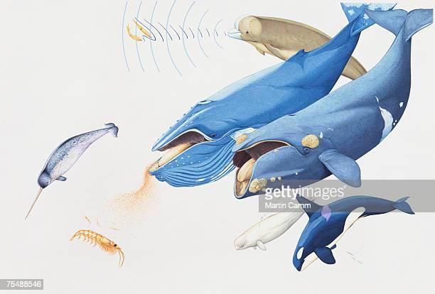 Killer Whale, blue whale, baleen whale