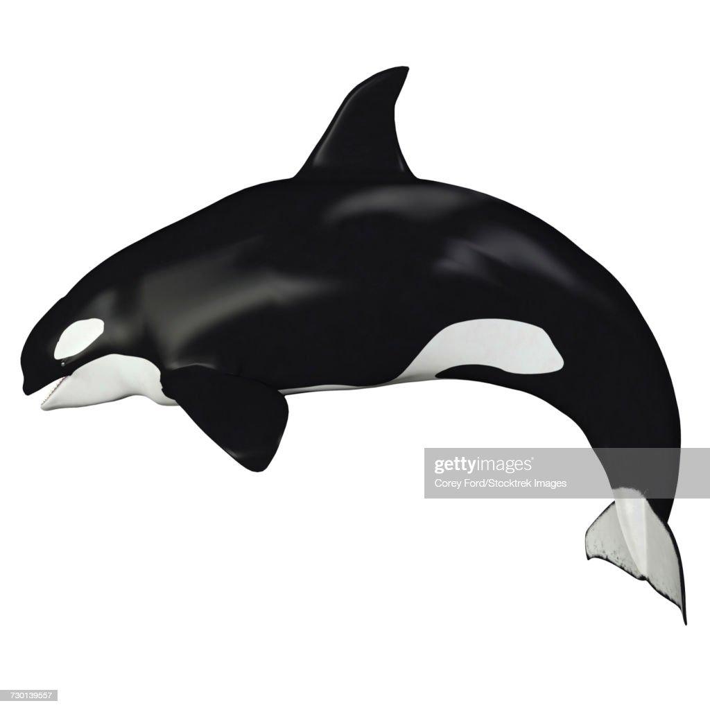 Killer whale illustration, side profile. : Ilustración de stock