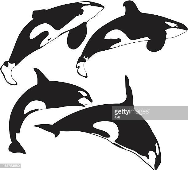 killer whales - killer whale stock illustrations, clip art, cartoons, & icons