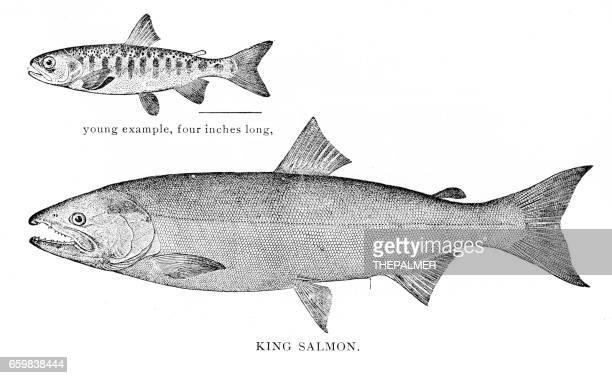 illustrations, cliparts, dessins animés et icônes de gravure sur saumon roi en 1898 - saumon