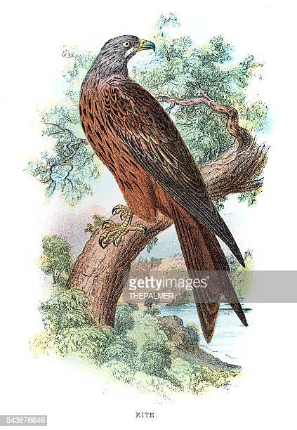 Kite bird engraving 1896