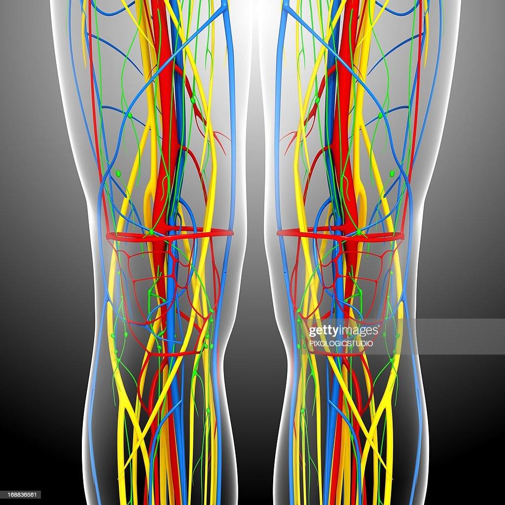 Knee Anatomy Artwork Stock Illustration Getty Images