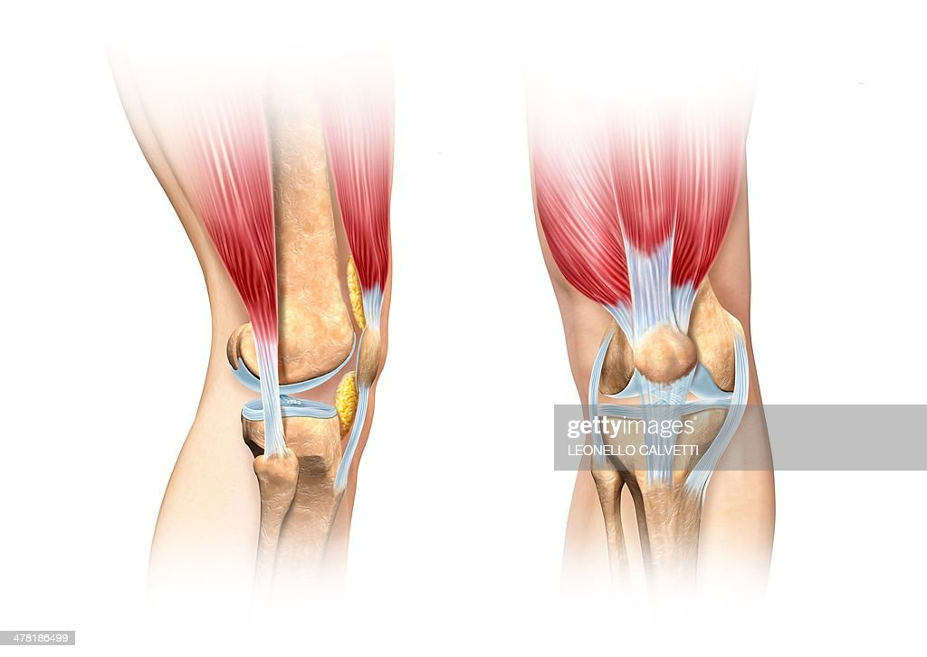 Cartoon Of Knee Ligaments Diagram Car Wiring Diagrams Explained
