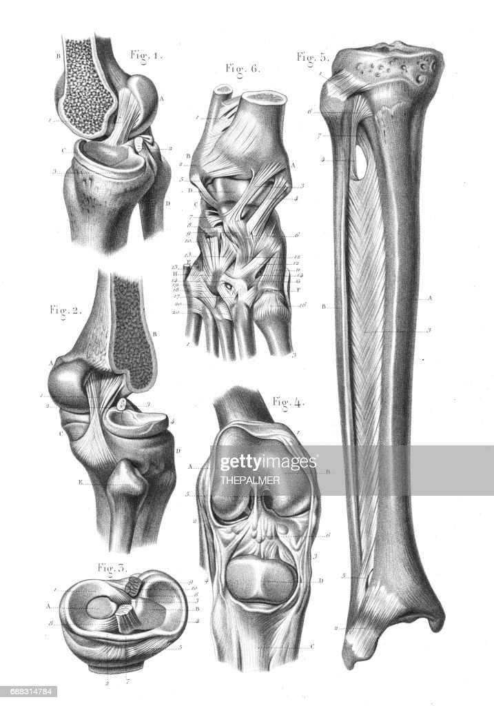 Knee Foot Joint Anatomy Engraving 1866 Stock Illustration | Getty Images
