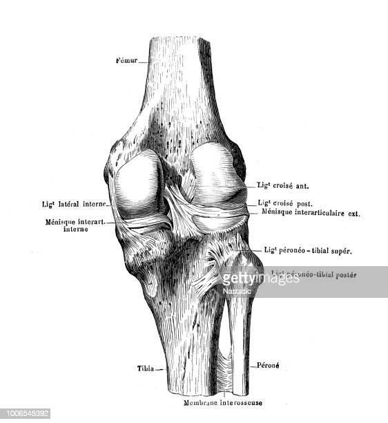 knee - biomedical illustration stock illustrations