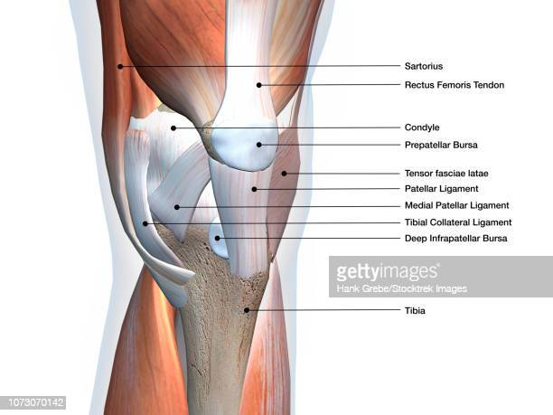 knee joint showing muscles and ligaments with labels. - 靭帯点のイラスト素材/クリップアート素材/マンガ素材/アイコン素材