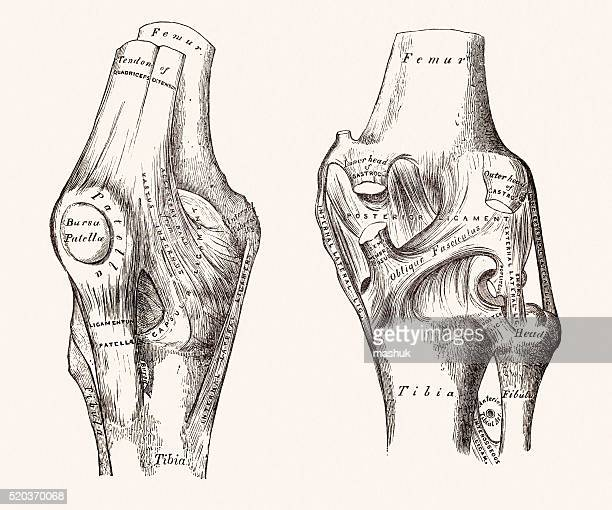 knee joints, 19 century medical illustration - sports medicine stock illustrations