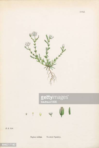 knotted spurrey, sagina nodosa, victorian botanical illustration, 186 - sandwort stock illustrations, clip art, cartoons, & icons