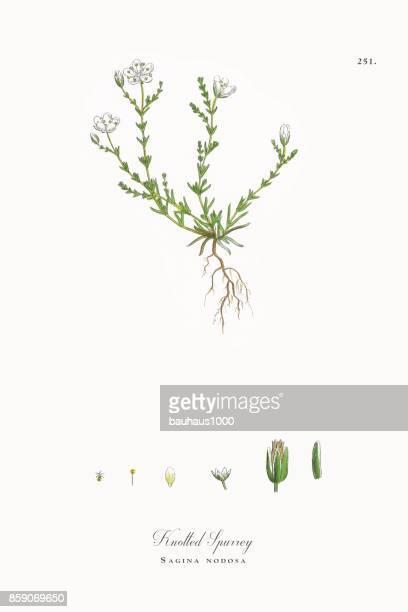 ilustrações, clipart, desenhos animados e ícones de spurrey atado, sagina nodosa, ilustração botânica vitoriana, 1863 - chickweed