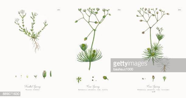knotted spurrey, sagina nodosa, victorian botanical illustration, 1863 - chickweed stock illustrations, clip art, cartoons, & icons