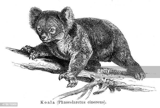 illustrations, cliparts, dessins animés et icônes de koala gravure 1895 - koala