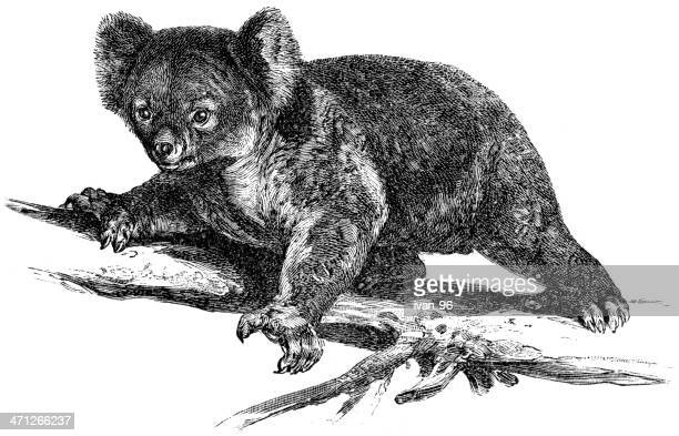 illustrations, cliparts, dessins animés et icônes de koala - koala