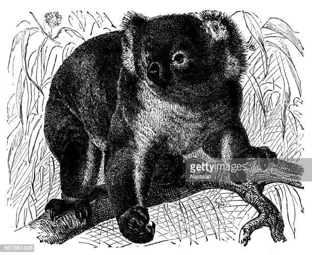 illustrations, cliparts, dessins animés et icônes de koala (phascolarctus cinereus) - koala