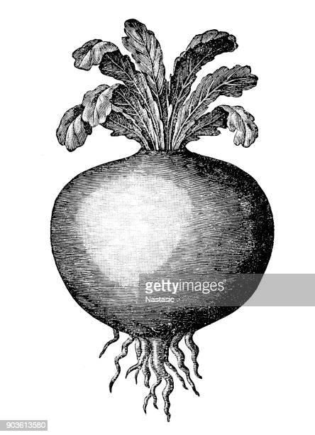 kohlrabi (german turnip or turnip cabbage) - turnip stock illustrations