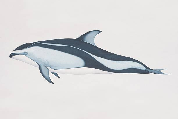 Lagenorhynchus Obliquidens, Pacific White-sided Dolphin, Side View. Wall Art