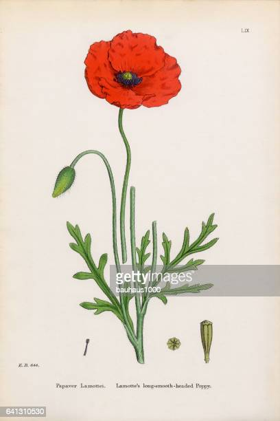 lamotte's poppy, papaver lamottei, victorian botanical illustration, 1863 - poppy plant stock illustrations, clip art, cartoons, & icons