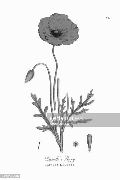 lamotte's poppy, papaver lamottei, victorian botanical illustration, 1863 - heroin stock illustrations, clip art, cartoons, & icons