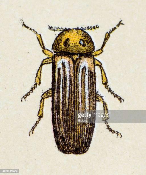 Lampyris noctiluca or common glow-worm, insect animals antique illustration
