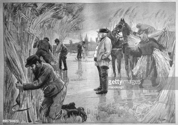 Landowner supervises the work of harvesting sugar cane in the field - 1896