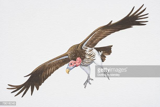 Lappet-faced or Nubian Vulture (Aegypius tracheliotus), brown wings spread in flight.