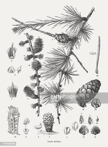 Alerce (Larix), publicada en 1877