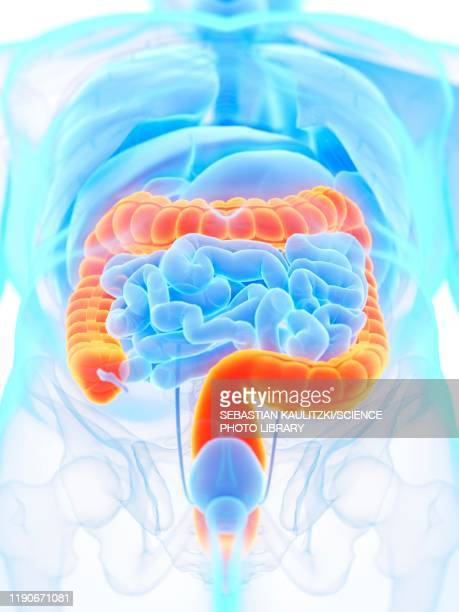 large intestine, illustration - human intestine stock illustrations