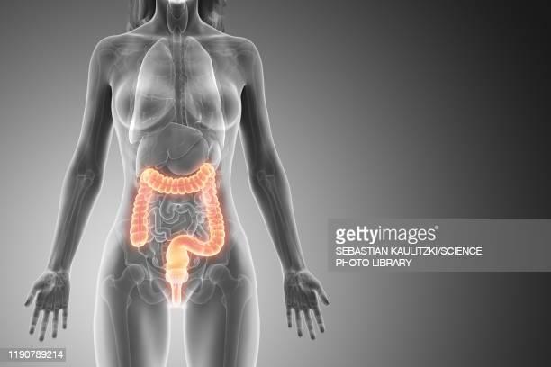 large intestine, illustration - large intestine stock illustrations
