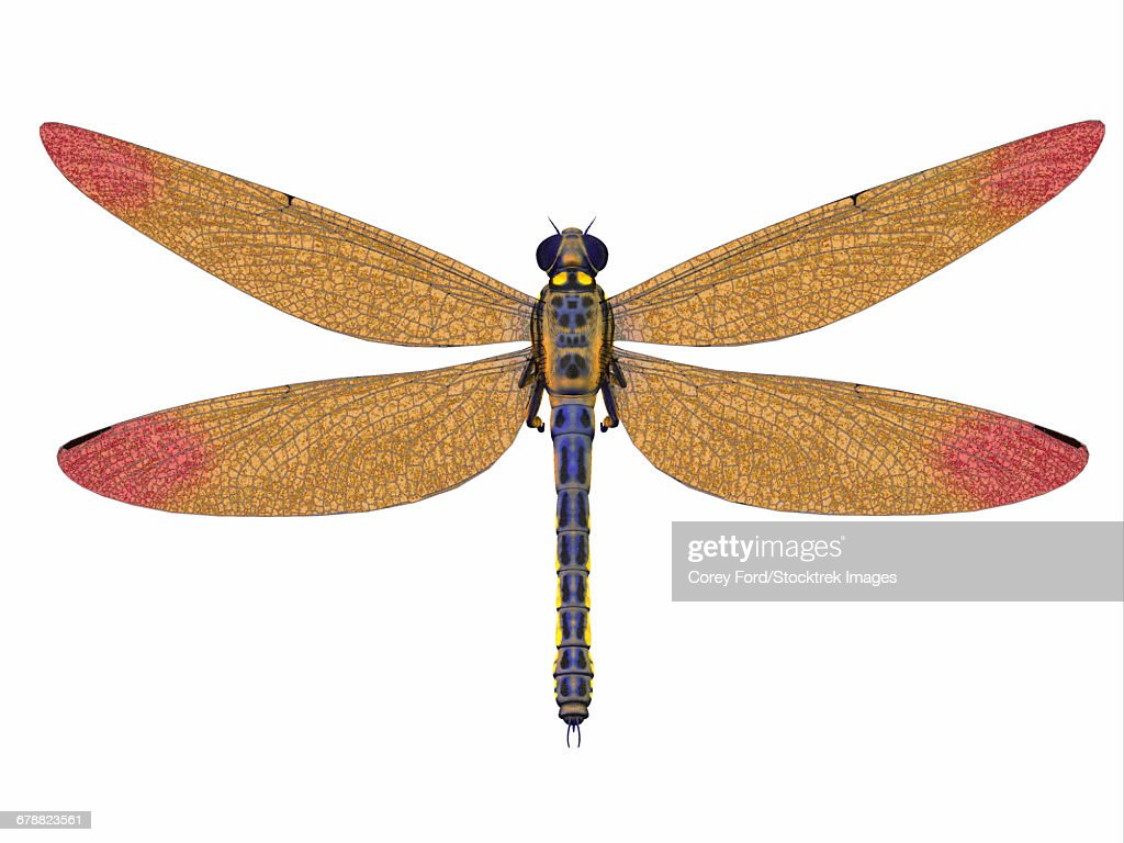 A large Meganeura dragonfly from the Carboniferous period. : stock illustration