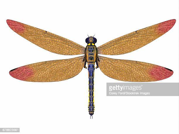 A large Meganeura dragonfly from the Carboniferous period.