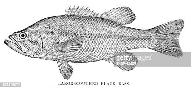 Large mouthed black bass engraving 1898